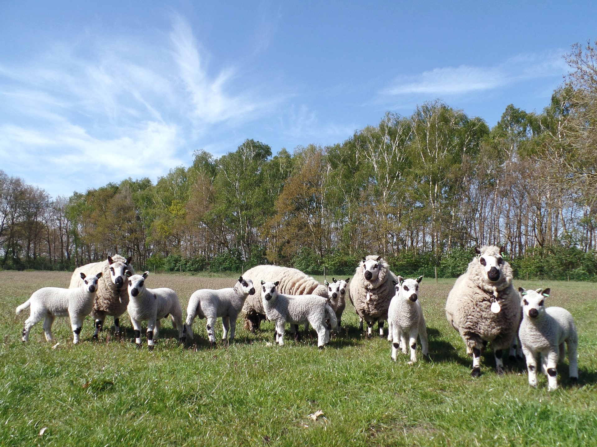 Schapen april 2017 jpg