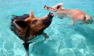 bahamas-zwemmen-varken-actieve-vakantie.jpg