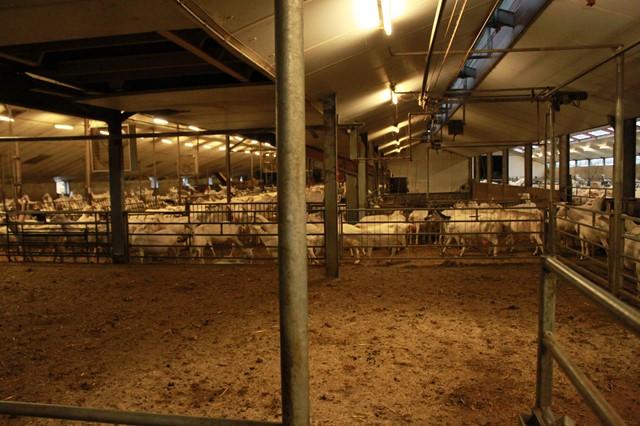 Na het melken weer naar de stal