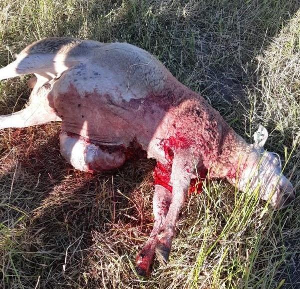wolf dood schaap.jpg